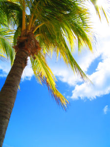Palmtree on Aruba